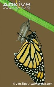 Monarch-butterfly-allowing-wings-to-dry-following-emergence