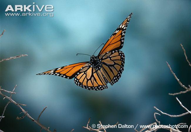 Monarch butterflies flying away - photo#11