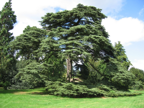 A cedar of Lebanon, favoured tree of Solomon the Wise.  © Michelle Walz and licensed for reuse under a Creative Commons Licence.