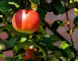 apple tree by pixabay dot com