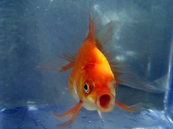 1280px-Butterfly_Goldfish_02